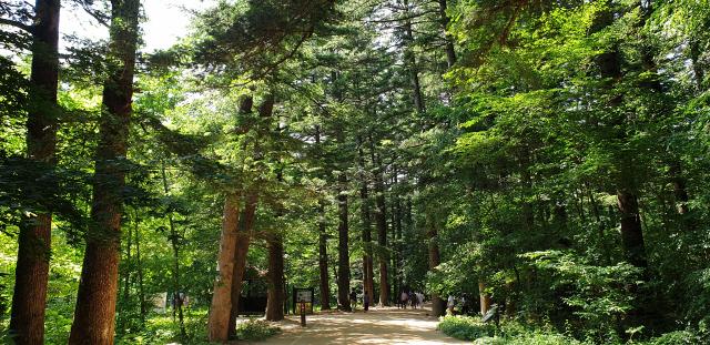 선재길에는 참나무와 소나무,낙엽송,물푸레,느릅나무,신당나무,단풍나무  등 다양한 나무들이 터널을 이루고 있다.