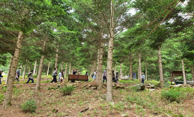 홍천 무궁화 수목원에서 탐방객들이 전나무 숲을 걷고 있다.